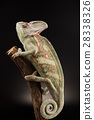 Chameleon lizard isolated on black background 28338326