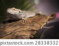 agama animal australian 28338332