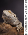 Lizard root, Bearded Dragon on green background 28338440