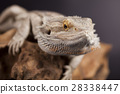 Agama bearded, pet on black background, reptile 28338447