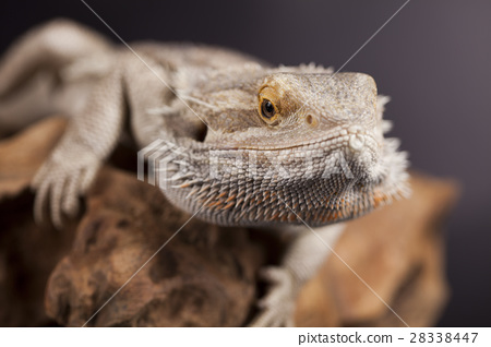 Agama bearded, pet on black background, reptile 28338447