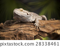 Animal Lizard, Bearded Dragon on mirror background 28338461