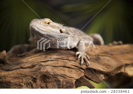 Animal Lizard, Bearded Dragon on mirror background 28338461