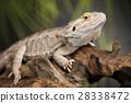 動物 澳大利亞人 背景 28338472