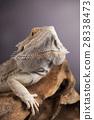 Dragon, Agama Lizard on black mirror background 28338473