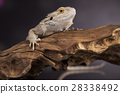 Lizard root, Bearded Dragon on green background 28338492