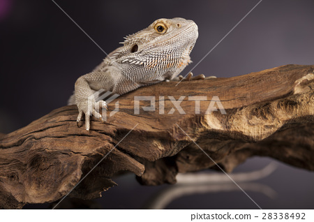 Lizard root, Bearded Dragon on green background 28338492