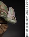 Root, Green chameleon, lizard background 28338504