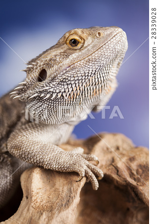 Agama bearded, pet on black background, reptile 28339028
