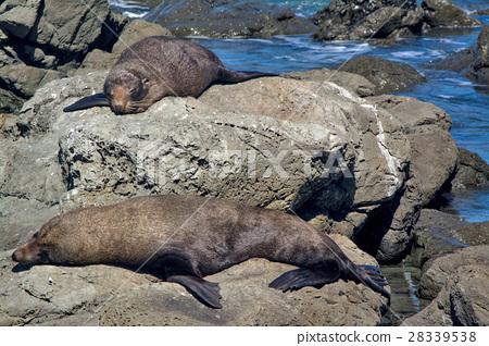 Seal sleeping on the rock at Kaikoura, New Zealand 28339538