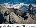 Seal sleeping on the rock at Kaikoura, New Zealand 28339542