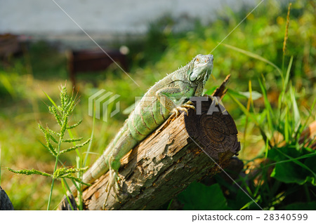 one animal green iguana 28340599