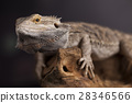 Lizard root, Bearded Dragon on green background 28346566