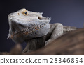 Lizard root, Bearded Dragon on black mirror  28346854