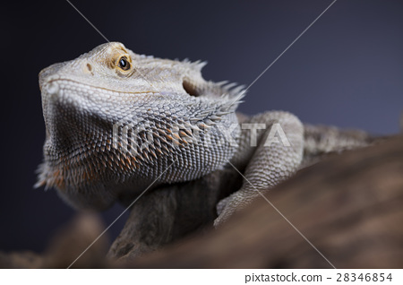 Lizard root, Bearded Dragon on black mirror  28346854