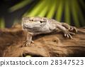 Lizard root, Bearded Dragon on black mirror  28347523