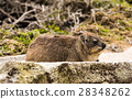 Rock dassie on the rock in South Africa 28348262