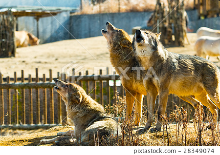 嚎叫的狼 28349074
