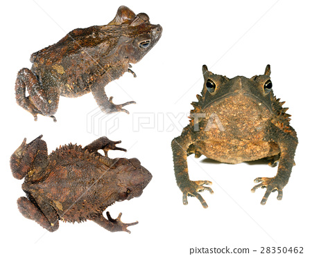 Crested Forest Toad (Rhinella margaritifera)  28350462