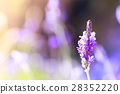 Lavender flower blossom 28352220