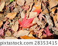 maple, yellow, leafe 28353415