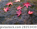 maple, yellow, leafe 28353430