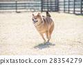 柴犬 丛林犬 跑步 28354279