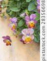 三色堇 花朵 花 28356698