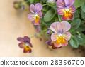 堇菜科 三色堇 花朵 28356700