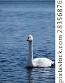 swan, swans, lake 28356876