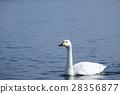 swan, swans, lake 28356877