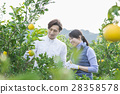tourist, heterosexual couple, picking mandarins 28358578
