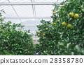 果园 橘子 蜜柑 28358780