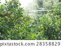 橘子種植園 28358829