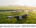 Cows at dawn 28365080