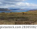 Cows on Isle of Skye 28365082