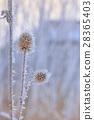 Echinops thistles plant 28365403