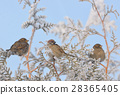 Little Sparrows on pine tree branch 28365405