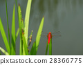red dragonfly, dragon-fly, dragonfly 28366775