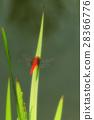 แมลงปอแดง 28366776