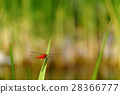 red dragonfly, dragon-fly, dragonfly 28366777