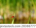 แมลงปอแดง 28366777
