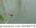 red dragonfly, dragon-fly, dragonfly 28366778