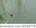 แมลงปอแดง 28366778