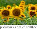 sunflower, sunflowers, botanic 28368877