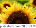 sunflower, sunflowers, botanic 28368878