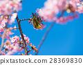 카와 벚꽃과 동박새 28369830