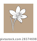 Delicate single crocus spring flower with stem and 28374698
