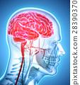 Human Internal Organic - Brain. 28390370