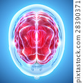 Human Internal Organic - Brain. 28390371